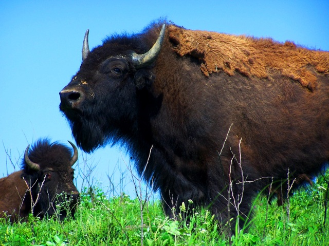 bison-at-prairie-state-park-near-mindenmines-mo-d2