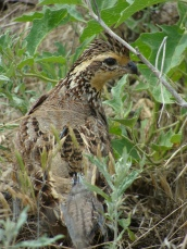 Radio-collared female northern bobwhite - North Texas