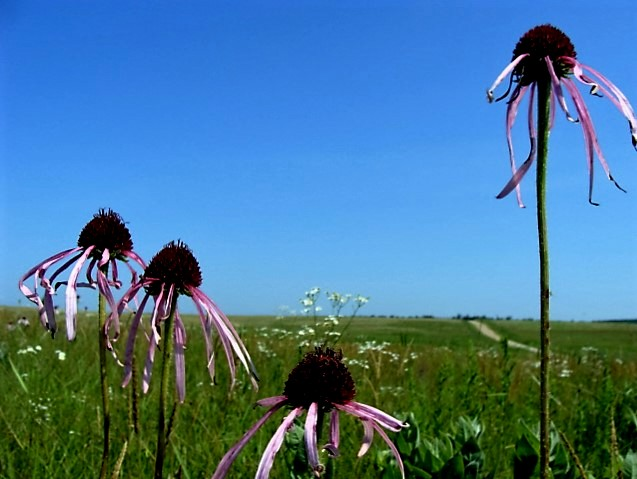 pale-purple-coneflower-3