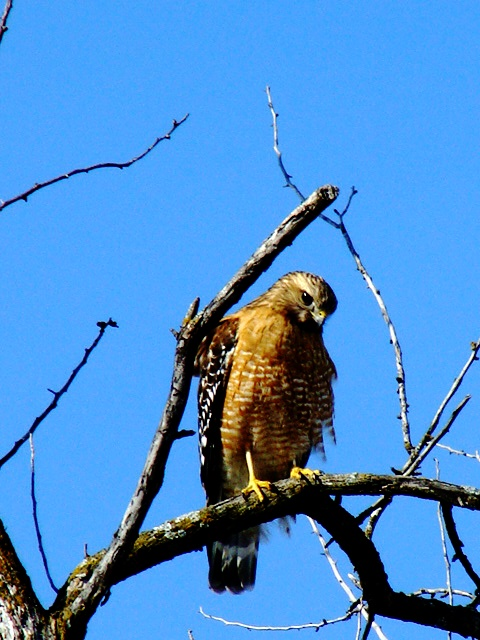 Red-shouldered Hawk- male-002
